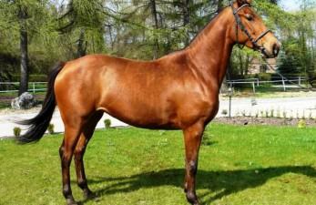 Что из себя представляет южногерманская лошадь?