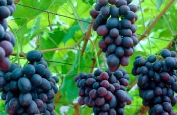 Где заказать виноград в Санкт-Петербурге?